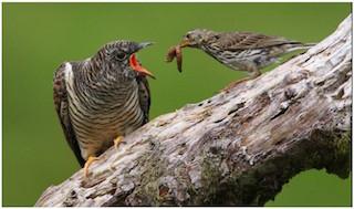 Dartmoor Birds Cuckoo
