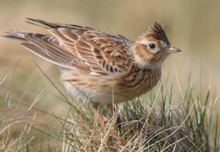 Dartmoor Birds Skylark